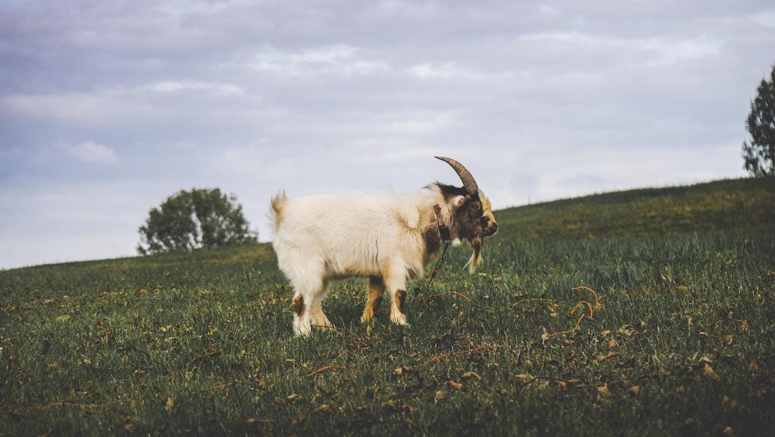 Chèvre à la montagne